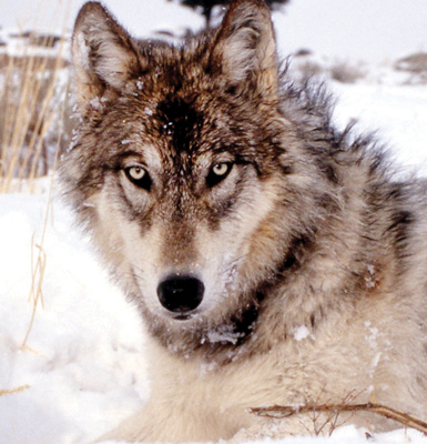 Isle Royale National wolf population drops to 3