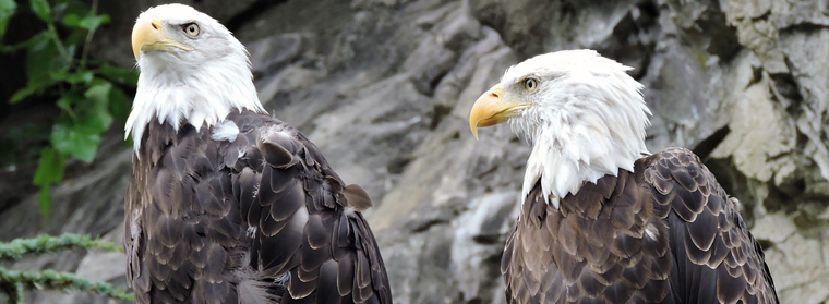 Federal rule would permit deaths of thousands of eagles
