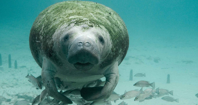 Manatees dying of mysterious syndrome